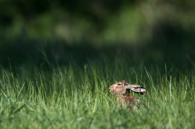 Do hares lay eggs?